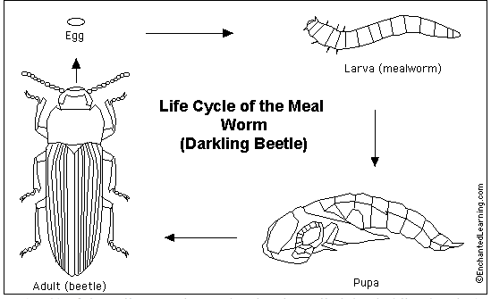 Beetle life cycle